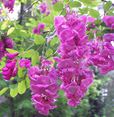 K wills sterling medical and technical writing services these beautiful purple pink blooms belong to the black locust tree in our front yard this was an impulse purchase about 6 years ago after we read about mightylinksfo